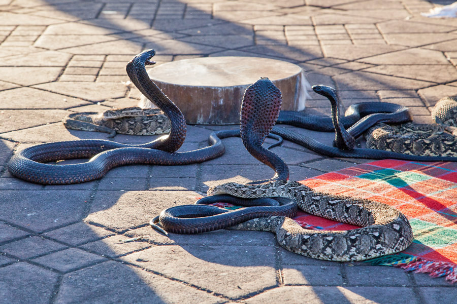Kobras am Jemaa al Fna