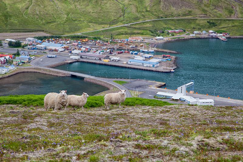 Schafe in Seydisfjördur