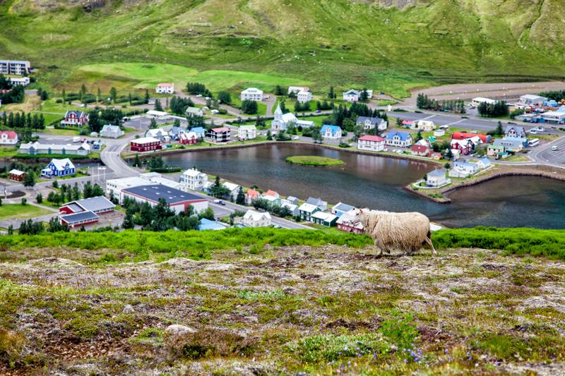 Schaf bei Seydisfjördur